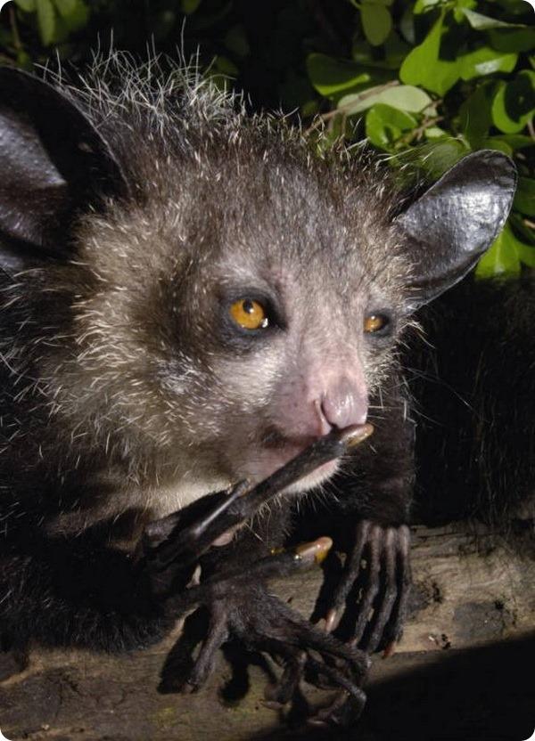 Ай-ай или мадагаскарская руконожка (лат. Daubentonia madagascariensis)