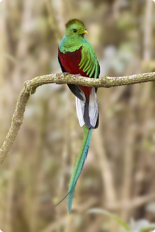 Квезаль (лат. Pharomachrus mocinno)