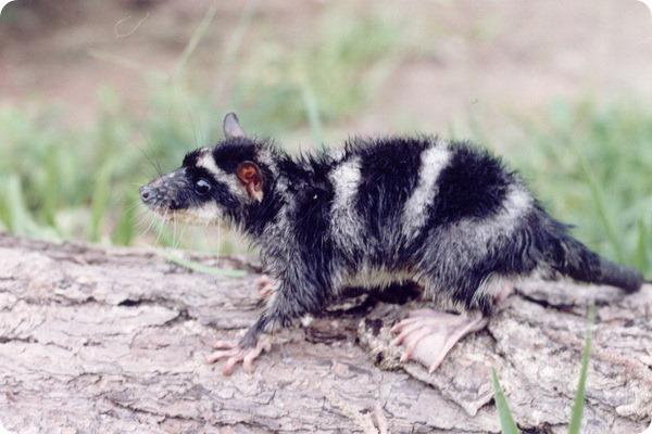 Водяной опоссум (лат. Chironectes minimus)