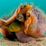 Гигантский тихоокеанский стромбус