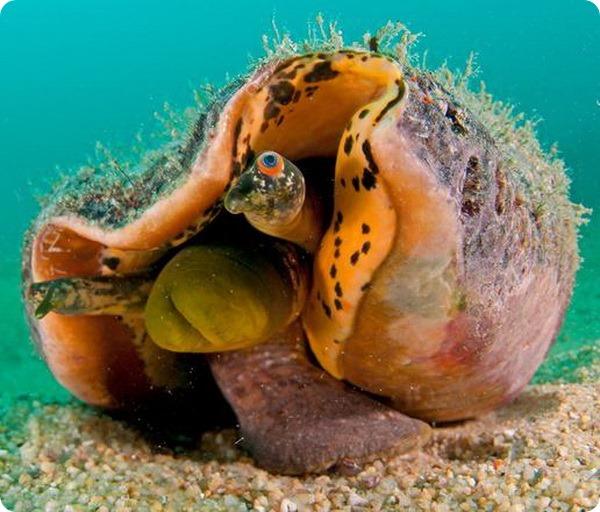 Гигантский тихоокеанский стромбус (лат. Strombus galeatus)