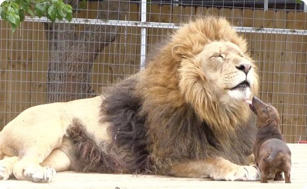 Необычная дружба льва и таксы