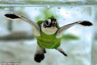 Черепашки в купальниках!