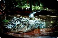 Кассиус — самый большой в мире крокодил