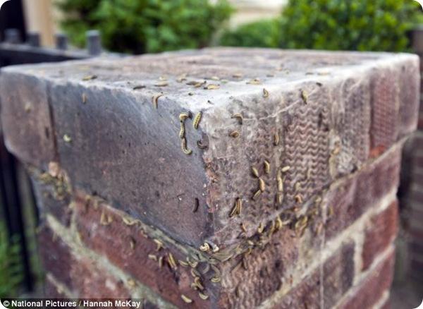 Нашествие гусениц в Лондоне