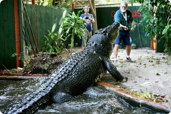 Кассиус - самый большой в мире крокодил