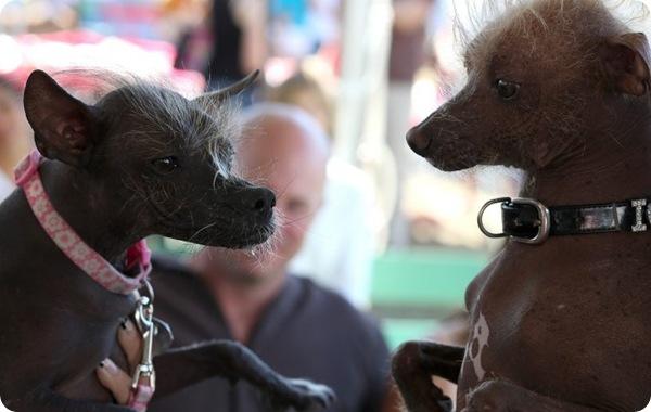 Конкурс на самую уродливую собаку 2013