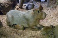 Кливлендский зоопарк представил новых капибар