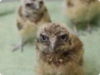 Птенцы кроличьего сыча из зоопарка Сакраменто