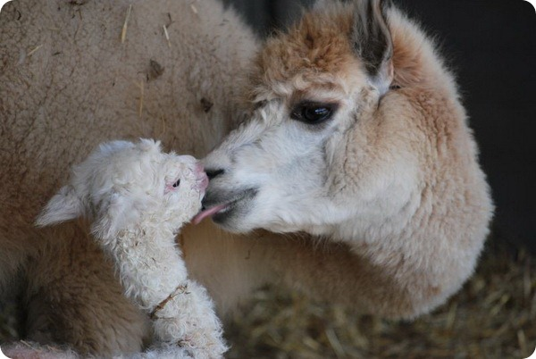 В зоопарке Паркен родился детеныш альпаки