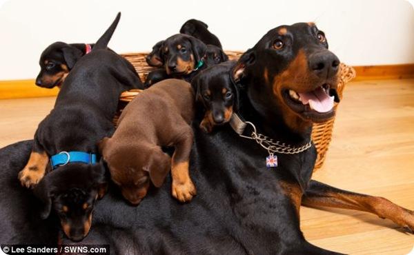 Доберман Джина родила 13 щенков
