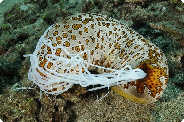 Леопардовый морской огурец (лат. Bohadschia argus)