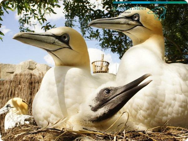 Птенцы северной олуши из зоопарка Германии