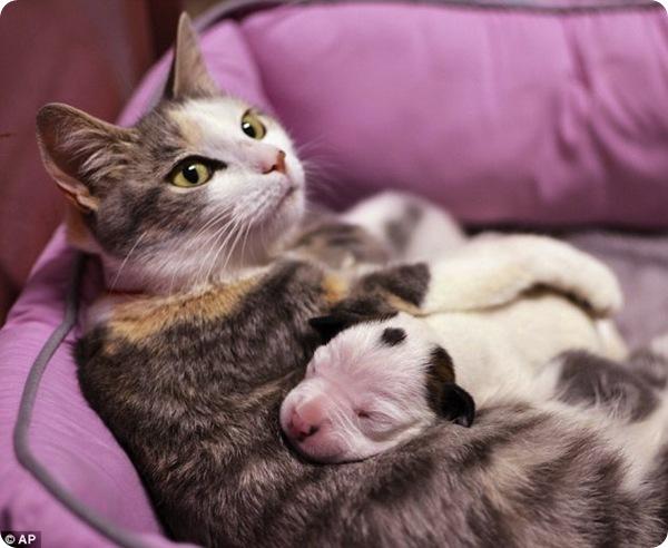 Кошка усыновила щенка питбуля