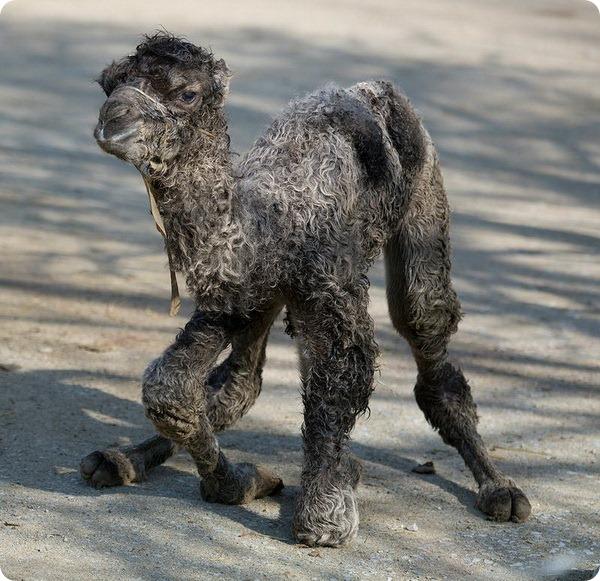 Верблюжонок из зоопарка Цюриха