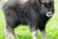 Детеныш овцебыка из парка дикой природы Хайленда