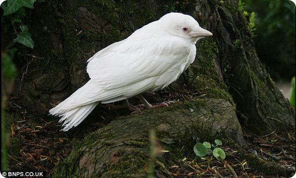 Галка-альбинос из Южного Уэльса