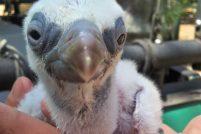 Птенец белоголового сипа из зоопарка Израиля