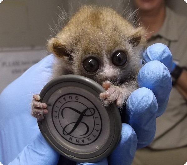 Медленный лори из зоопарка Эль-Пасо
