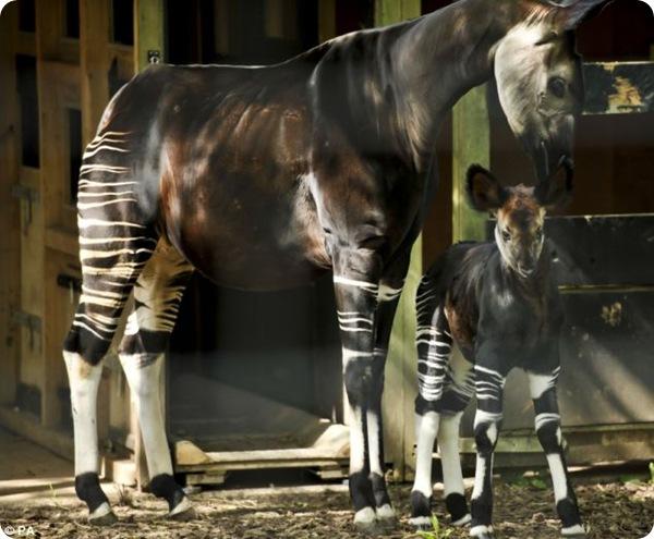 В Бристольском зоопарке представили новорождённую окапи