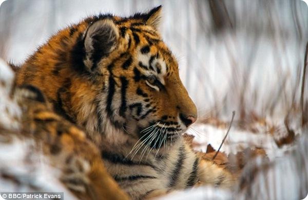 Выслеживая амурского тигра...