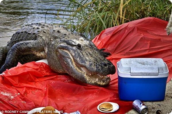 Аллигатор на пикнике!