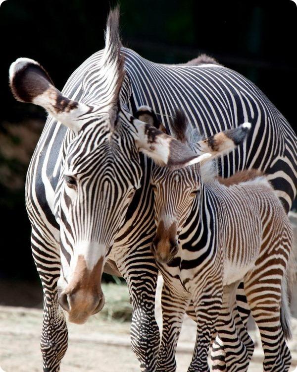 Зоопарк Денвера приветствует жеребенка зебры Греви