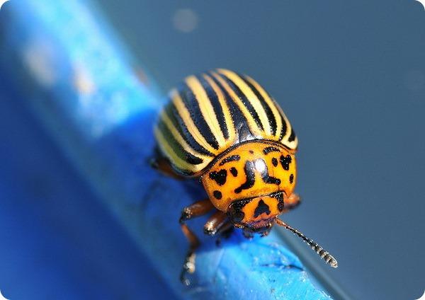 Колорадский жук (лат. Leptinotarsa decemlineata)