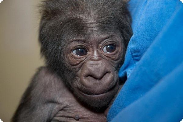Детеныш гориллы из зоопарка Коламбус