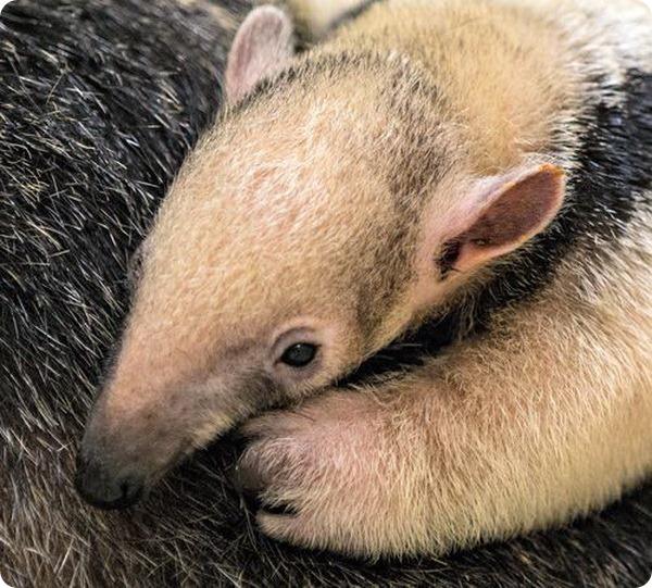 Малыш муравьеда из зоопарка Буффало