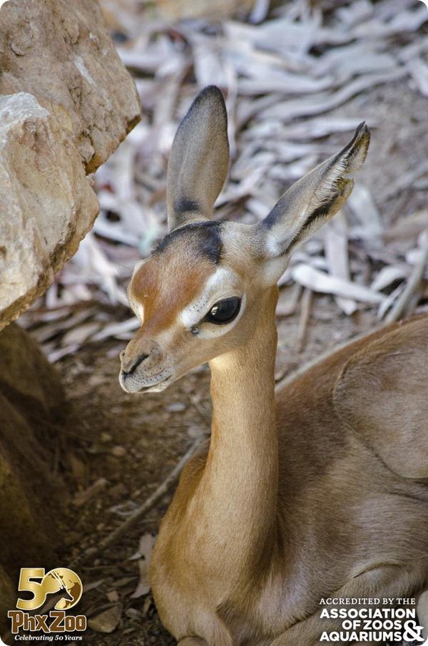 Детеныши геренука из зоопарка Финикс