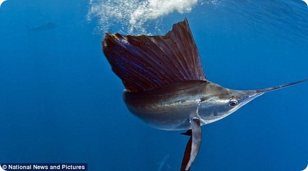 Невероятная охота парусника на сардин