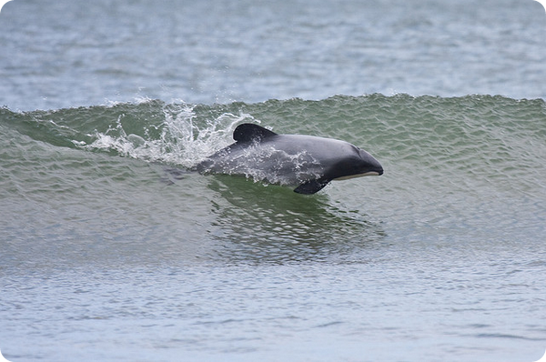 Дельфин Гектора (лат. Cephalorhynchus hectori)