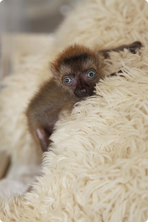 Детеныш голубоглазого лемура из зоопарка Франции