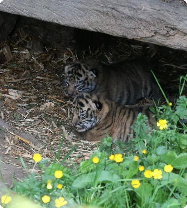 Тигрята-близнецы из Честера