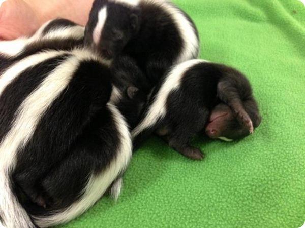 Зоопарк Бойсе представил детенышей скунса
