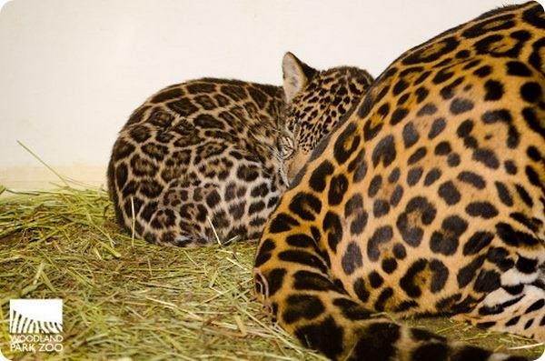 Детеныши ягуара из зоопарка Woodland Park
