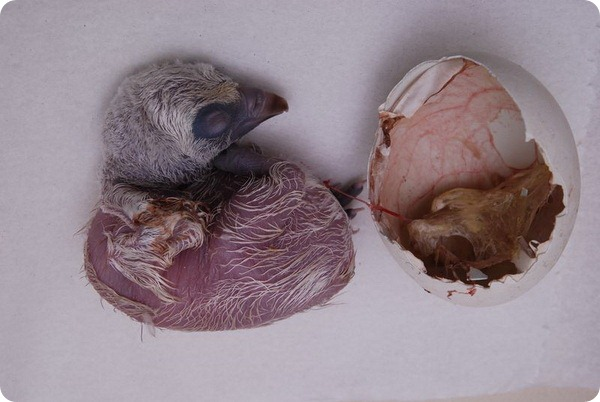 Детеныш белоголового сипа из зоопарка Израиля