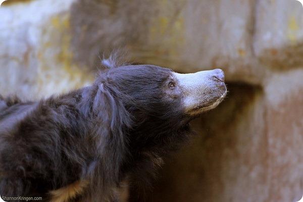 Медведь-губач (лат. Melursus ursinus)