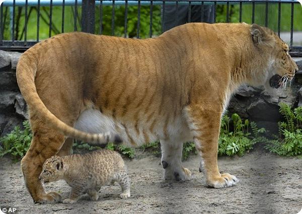В Новосибирском зоопарке представили крохотных лигрят
