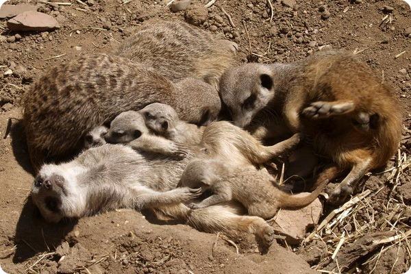Пополнение сурикатов в зоопарке Twycross Zoo
