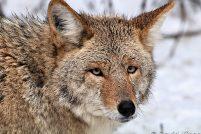 Койот или луговой волк