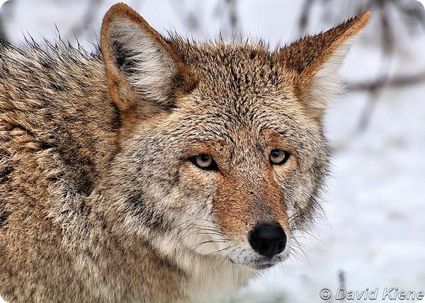 Койот или луговой волк (лат. Canis latrans)