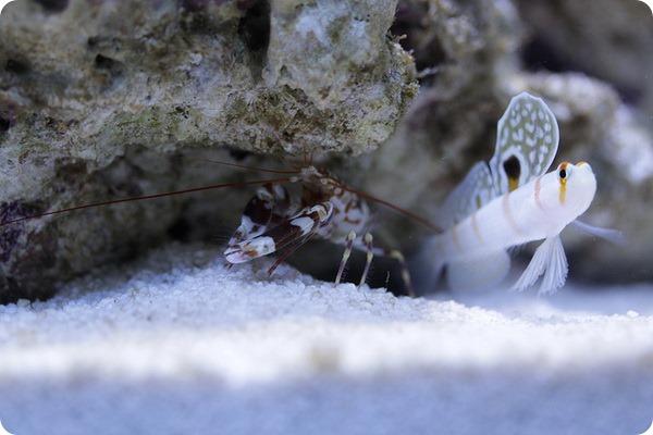 Креветка-щелкун (лат. Alpheus randalli)