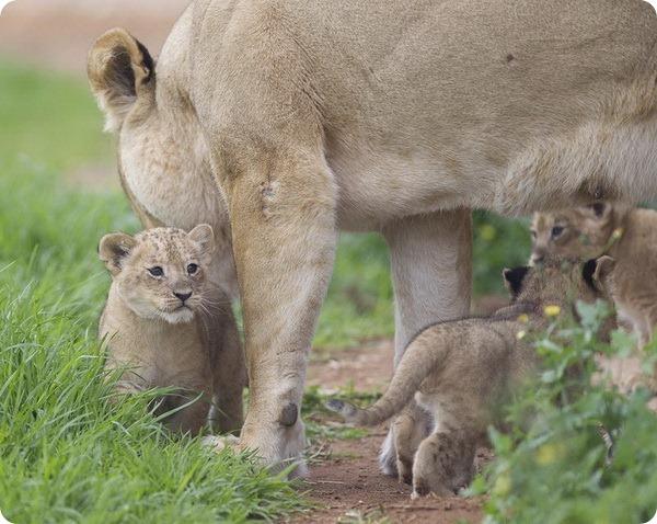 Трое львят из зоопарка Монарто
