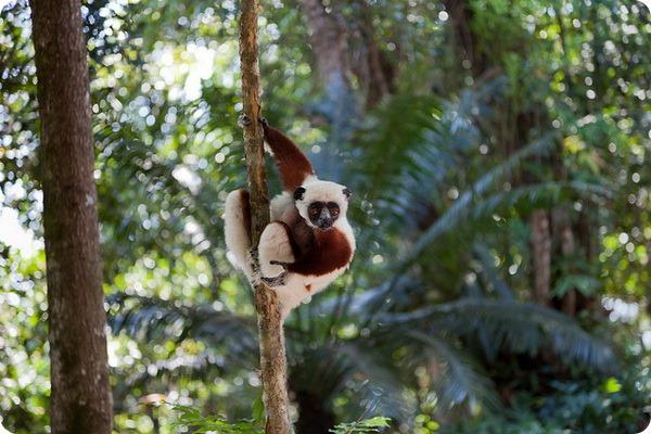Ореховая сифака (лат. Propithecus coquereli)