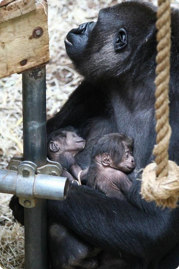 Близнецы гориллы из зоопарка Бюргерса