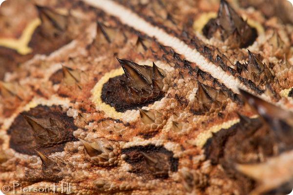 Рогатая ящерица (лат. Phrynosoma cornutum)