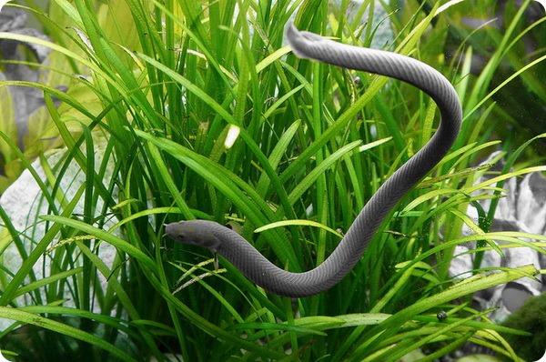 Калабарский каламоихт или рыба-змея (лат. Erpetoichthys calabaricus)