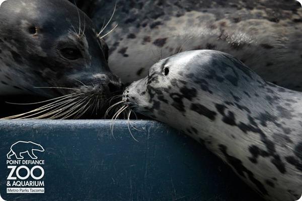 Тюлененок из аквариума Point Defiance Zoo